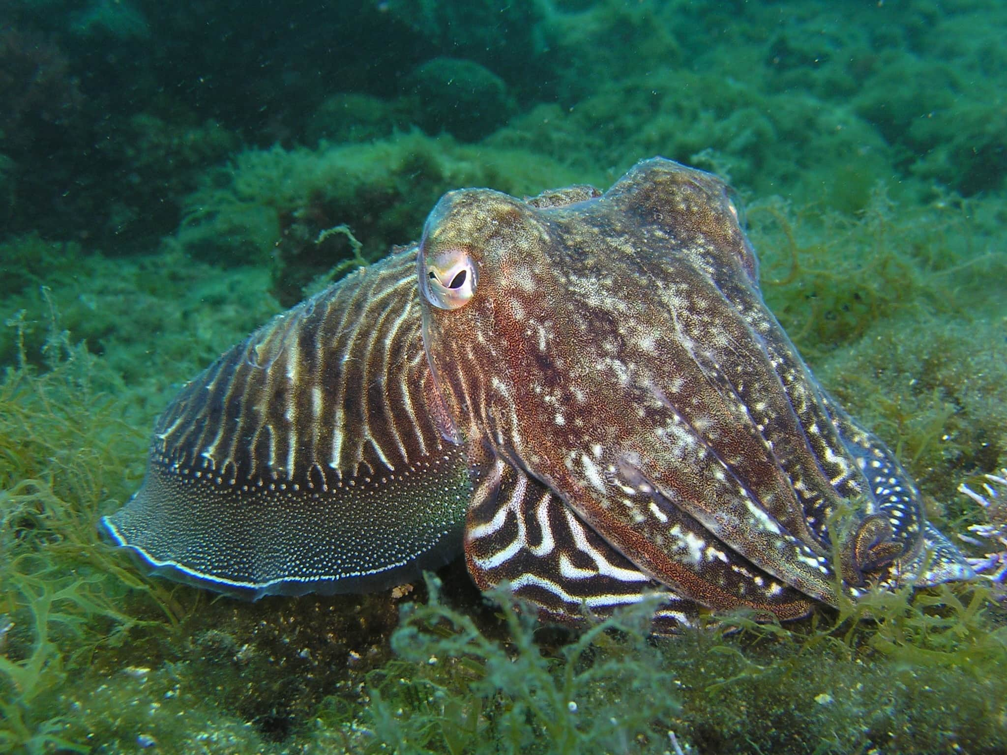 Cuttlefish while snorkelling in the Siles of Scilly